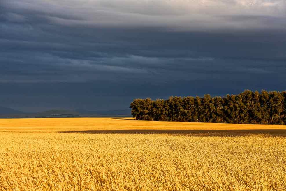 Золотая пшеница