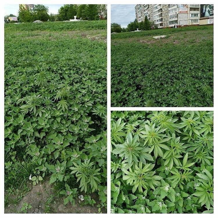 Администрация прокомментировала появление кустов конопли на Зеленом Клине