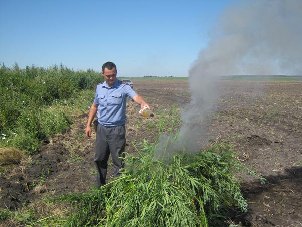 В Бийском районе в ходе профилактической операции было уничтожено более 4 гектаров дикорастущей конопли