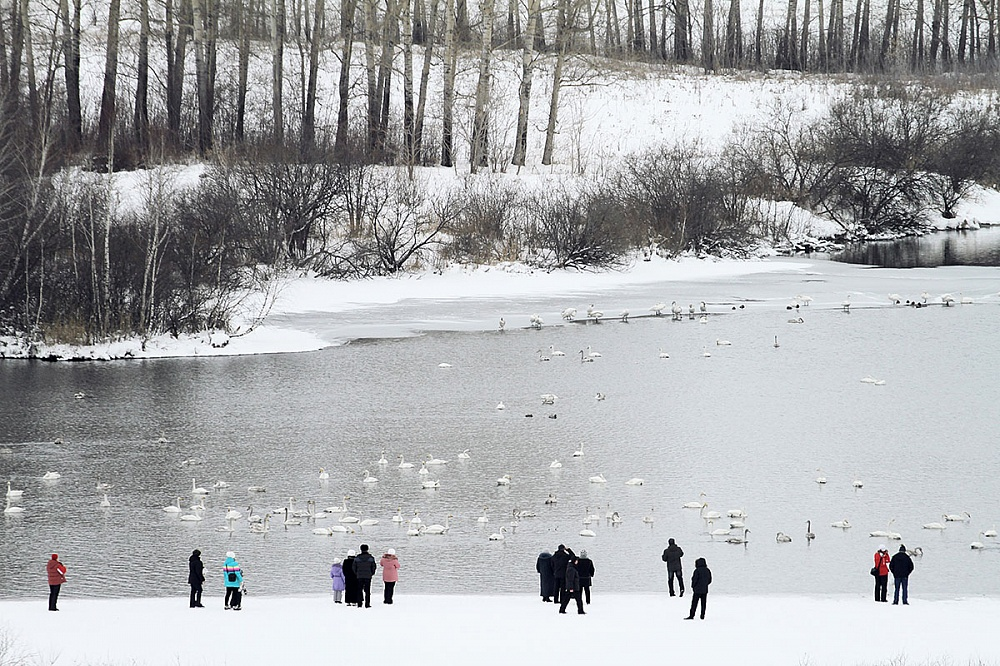 Первые лебеди прилетели зимовать на Бию в поселок Молодежный