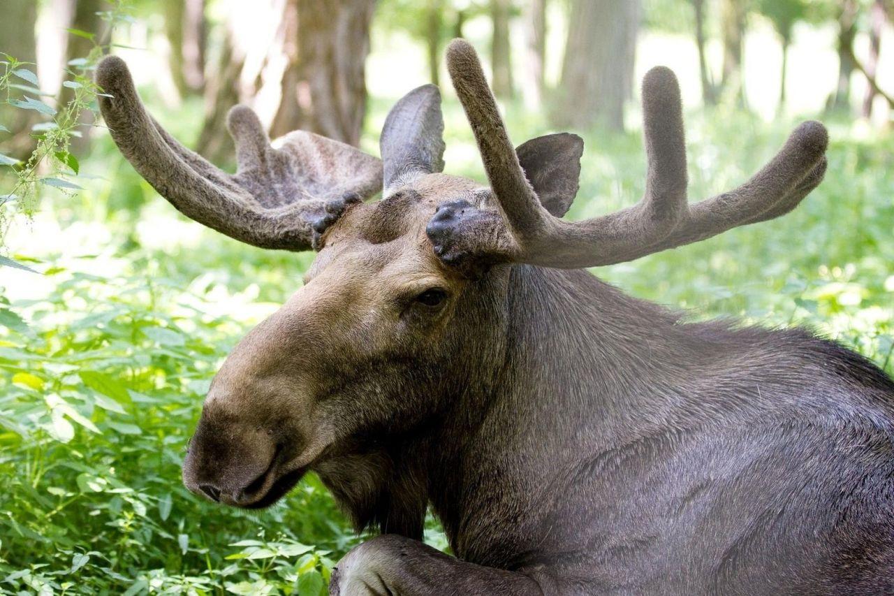 Бийчанин заплатил 400 тысяч рублей штрафа за убитого лося