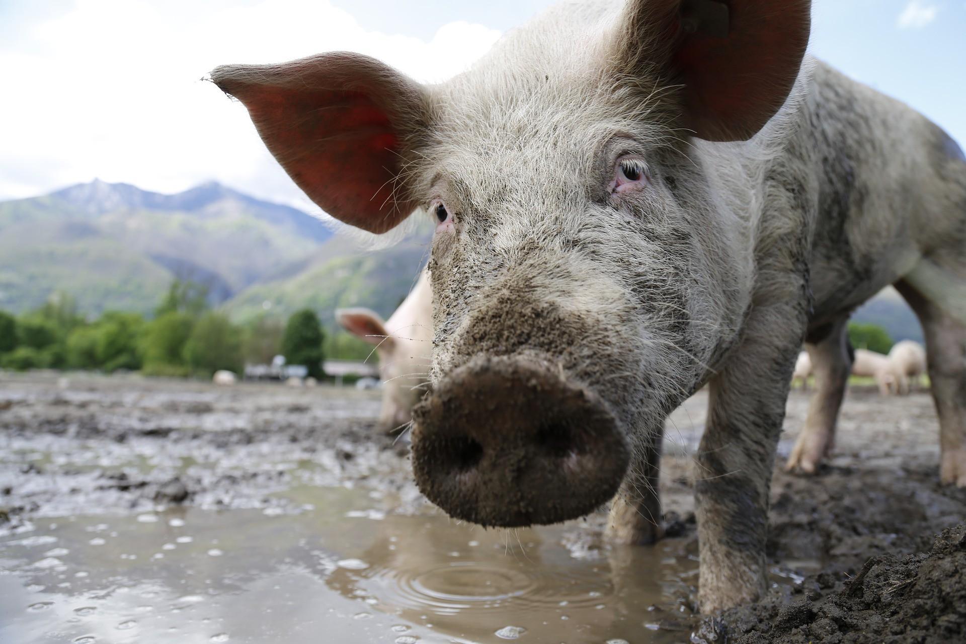 В ЦГБ Бийска поступила 4-летняя девочка, на которую напали четыре свиньи
