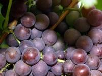 Как в «Золушке»: на виноградниках Алтайского района посадят тыкву