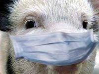 Бийчан предупредили об угрозе африканской чумы свиней