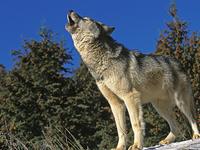 Министерство природы Алтайского края объявило о премиях за отстрел волков