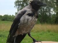 Министерство природных ресурсов начинает выплаты за лапки серой вороны
