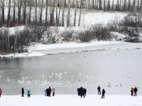 Около полсотни лебедей прилетели в заказник «Лебединый» на зимовку