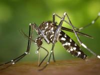 В связи с изменением климата, в Бийск прилетели тигровые комары