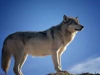 В Белокурихе начали формирование бригады охотников для защиты населения от волков
