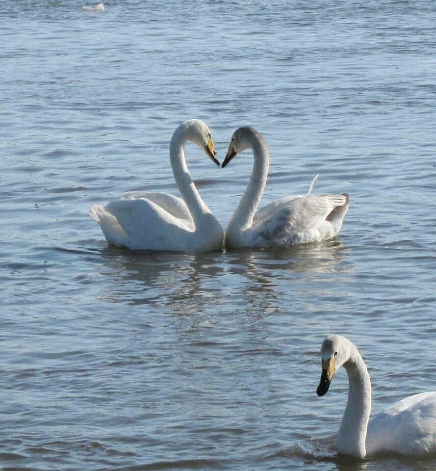 10 ноября на берегу Бии в поселке Молодежном начнется арт-фестиваль в честь прилета лебедей