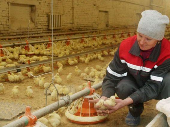 «Алтайский бройлер» восстановит производство уже осенью